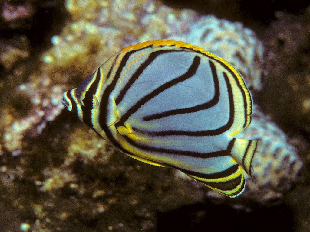 Chaetodon reef aquarium for Pesce rosso butterfly