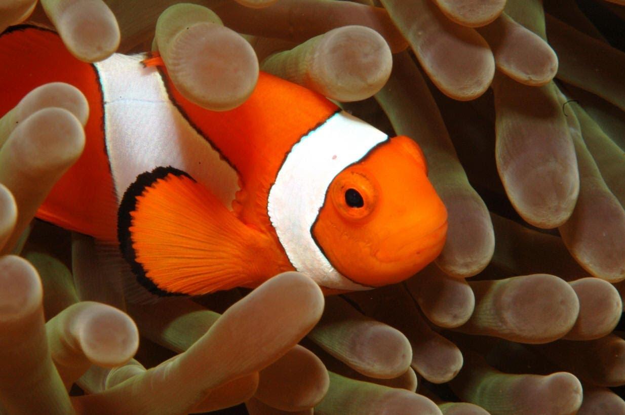 Pesce Pagliaccio E Anemone.Pesci Pagliaccio E Anemoni Di Mare Reef Aquarium